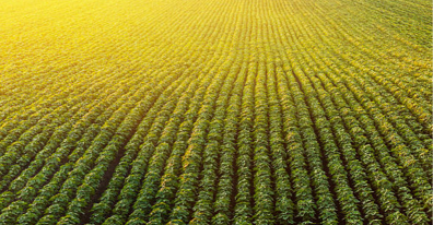 Birds eye view of a field of rows of soybeans at sunset.