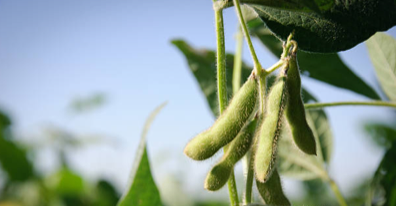 Close up of soybeans growing on the plant under a clear blue sky.