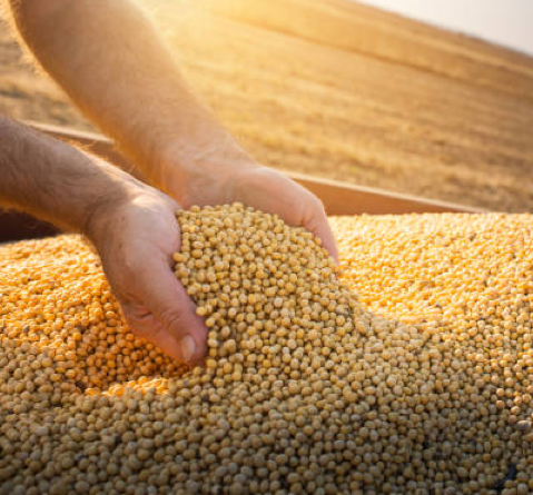 Hands of farmer holding soy beans after harvest