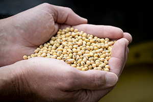 Cupped hands full of soybeans